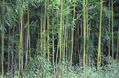 Photograph - Bamboo by Bob Gross