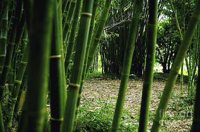 Photograph - Bamboo Forest by Andres LaBrada