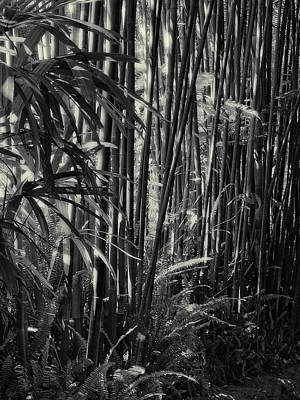Photograph - Bamboo by Guillermo Rodriguez