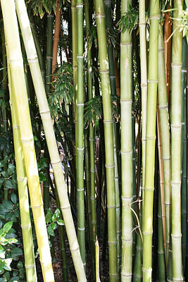 Photograph - Bamboo  by Lynnette Johns