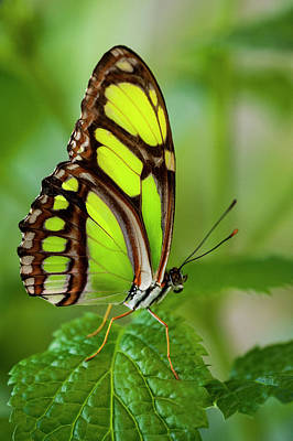 Photograph - Bamboo Page Butterfly Philaethria Dido by Ed Reschke