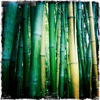 Bamboo Photograph - Bamboo by Sarah Coppola