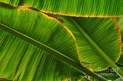 Photograph - Banana Leaves by Randy Rogers