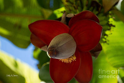 Photograph - Banana Flower 5 by Sally Simon
