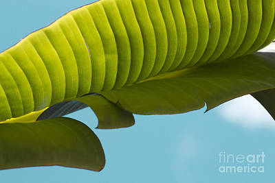 Photograph - Banana Leaf And Maui Sky by Sharon Mau
