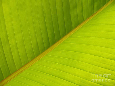 Banana Leaf Diagonal Pattern Close-up Art Print by Anna Lisa Yoder