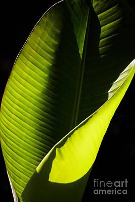 Photograph - Banana Leaf by Nick  Biemans
