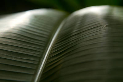 Macro Photograph - Banana Leaf Shine by Jared Shomo
