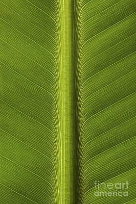 Banana Leaf Rib Art Print by Ronald Pol