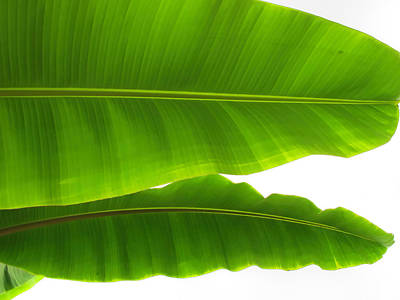 Photograph - Banana Leaves 2 by Dawn Eshelman