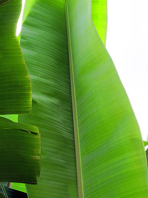 Photograph - Banana Leaves 5 by Dawn Eshelman