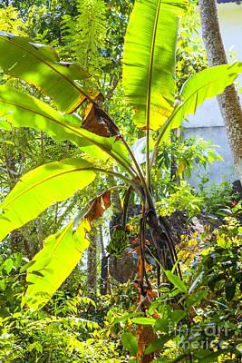 Banana Photograph - Banana Palm Tree With Luminous Shine by Regina Koch