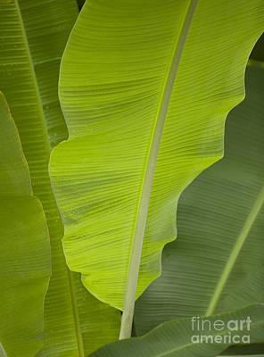 Maia Photograph - Banana Plant Leaf by John De Mello