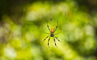 Photograph - Banana Spider by John M Bailey
