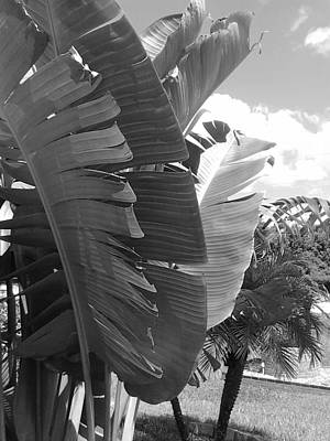 Photograph - Banana Tree And Palm In Black And White by Shere Crossman