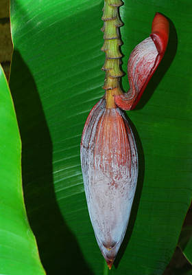 Photograph - Banana Tree Bud by Connie Fox