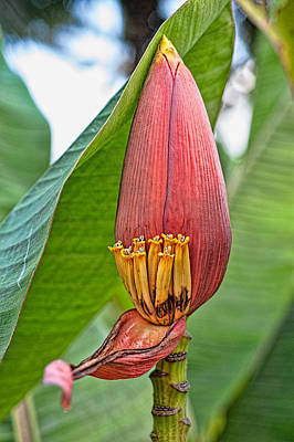 Photograph - Banana Tree Flower by Dan McManus
