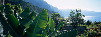 Azores Photograph - Banana Trees In A Garden by Panoramic Images