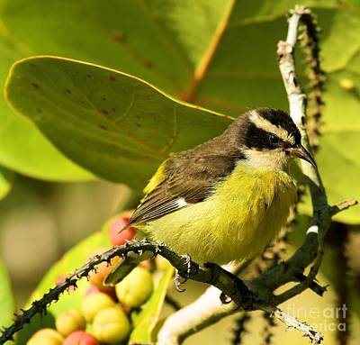 Photograph - Bananaquit And Berry Bush by Adam Jewell