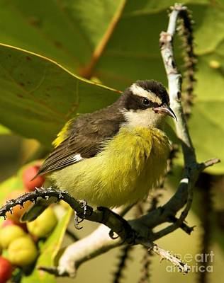 Photograph - Bananaquit In The Bush by Adam Jewell