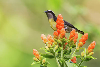Nature Center Photograph - Bananaquit On Blooms by Ken Archer