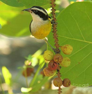 Photograph - Bananaquit On The Berry Branch by Adam Jewell