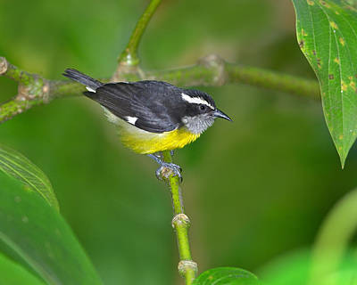 Photograph - Bananaquit by Tony Beck