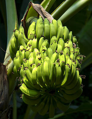 Digital Art - Bananas On A Banana Tree by Chris Flees