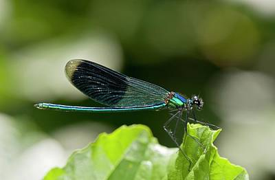 Banded Demoiselle Damselfly Art Print by Bob Gibbons