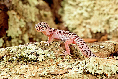 Lizard Photograph - Banded Gecko, Coleonyx Variegatus by David Northcott