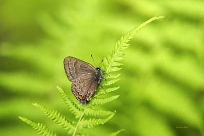 Rollos Photograph - Banded Hairstreak Butterfly by Christina Rollo