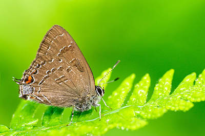 Banded Hairstreak Butterfly Art Print