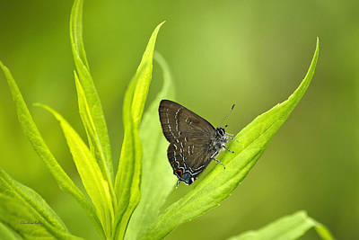 Photograph - Banded Hairstreak Butterfly Resting On Green Leaf by Christina Rollo