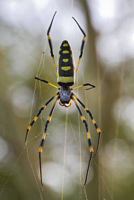 Golden Orb Photograph - Banded-legged Golden Orb-web Spider by Piotr Naskrecki