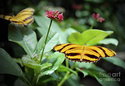 Photograph - Banded Orange Butterflies by Tom Brickhouse