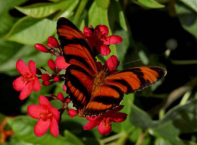 Photograph - Banded Orange Butterfly. by Chris  Kusik