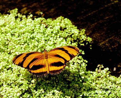 Photograph - Banded Orange Butterfly by Tom Brickhouse