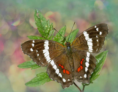 Brown Leaves Photograph - Banded Peacock Butterfly by David and Carol Kelly