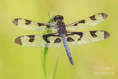 Photograph - Banded Pennant Dragonfly by Clarence Holmes