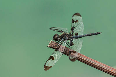 Photograph - Banded Pennant by Jim Zablotny