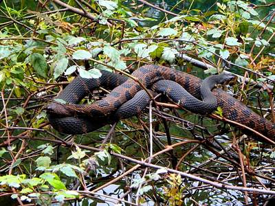 Photograph - Banded Water Snake Pair 1 by Sheri McLeroy