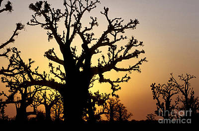 Senegal Photograph - Bandia Baobabs Forest, Senegal by Adam Sylvester