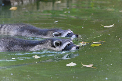 Raccoon Photograph - Synchronized Swimming by Fraida Gutovich