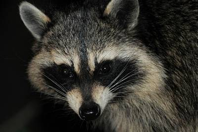 Photograph - Bandit Masked Raccoon by Marilyn Burton