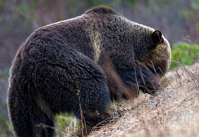 Photograph - Banff Grizzly Bear 4 by Terry Elniski