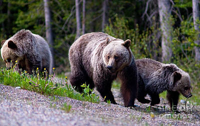 Photograph - Banff Grizzly Bear And Cubs 3 by Terry Elniski