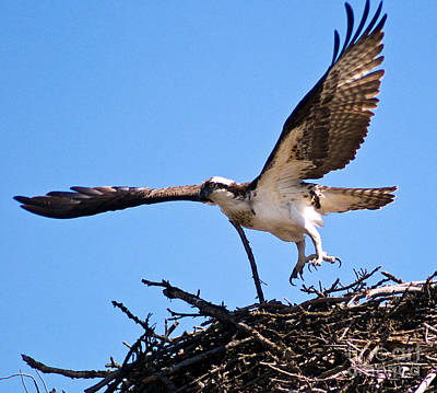 Photograph - Banff - Osprey 10 by Terry Elniski