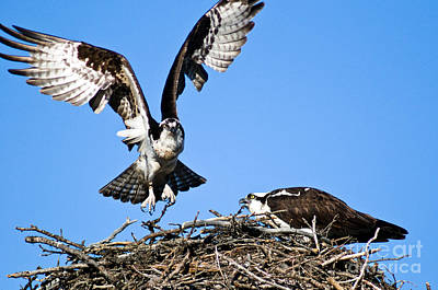 Photograph - Banff Osprey 2 by Terry Elniski