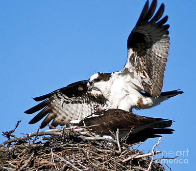 Photograph - Banff - Osprey 3 by Terry Elniski