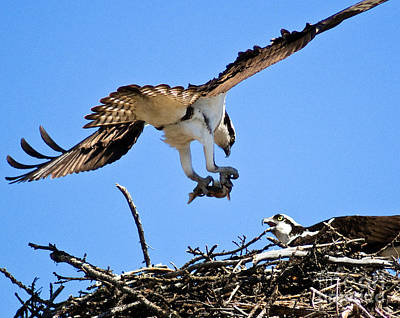 Photograph - Banff - Osprey 5 by Terry Elniski